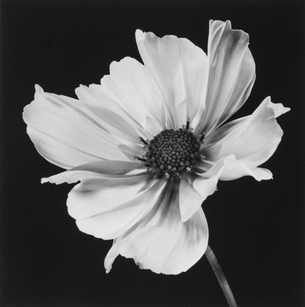 ≪コスモス≫ 1986年 Common Cosmos ©高知県, 石元泰博フォトセンター